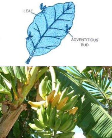 Figure shows two plants Bryophyllum and banana tree