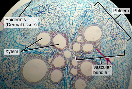 here shows a cross section of a squash stem
