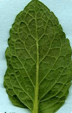 Figure shows a leaf – dicot or monocot?