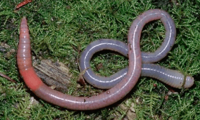 Image shows an earthworm