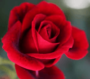 Image shows rose flower