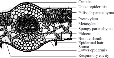 Image shows T.S of sunflower leaf(labeled diagram)