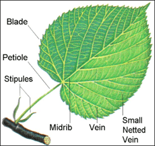 Parts of leaf
