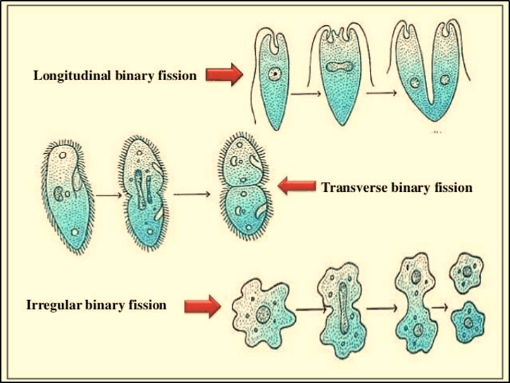 Different types of Binary Fission