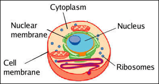 Structure of Cytoplasm