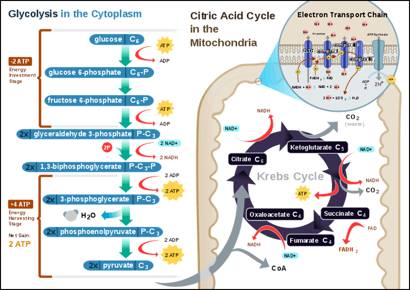 Cell Respiration in a Typical Eukaryotic Cell