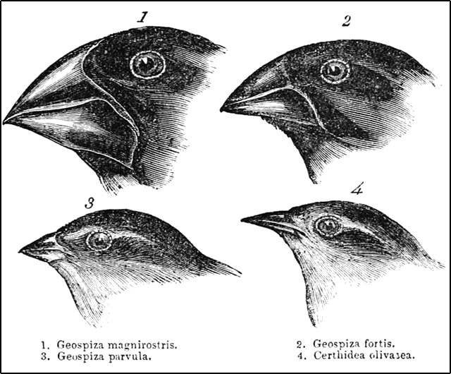 Darwin's finches or Galapagos finches