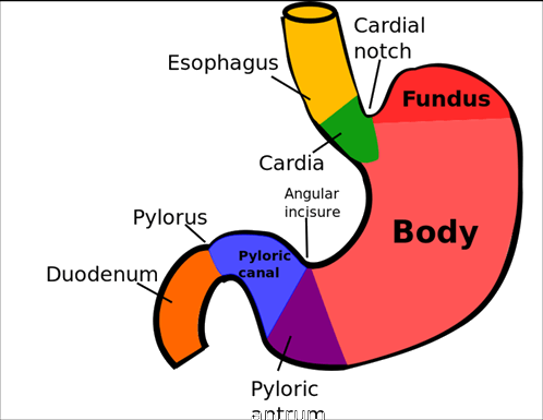 Areas of the Stomach