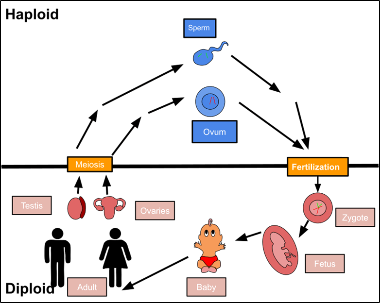 Biological life cycle of a human
