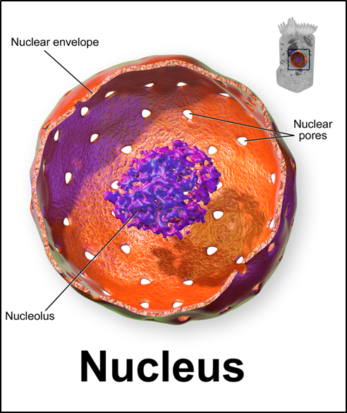 3D rendering of nucleus