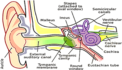 Structure of middle and internal ear