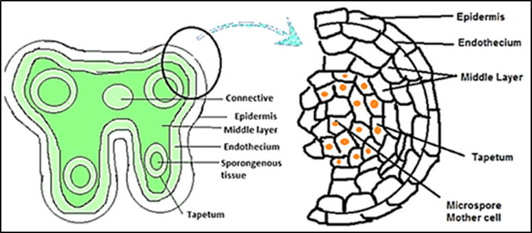 The diagram of a microsporangium and labelling