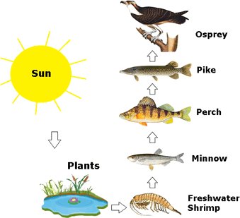 Image Common food chain of a pond ecosystem