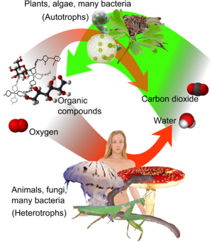 Image Heterotrophs do not synthesize their own food
