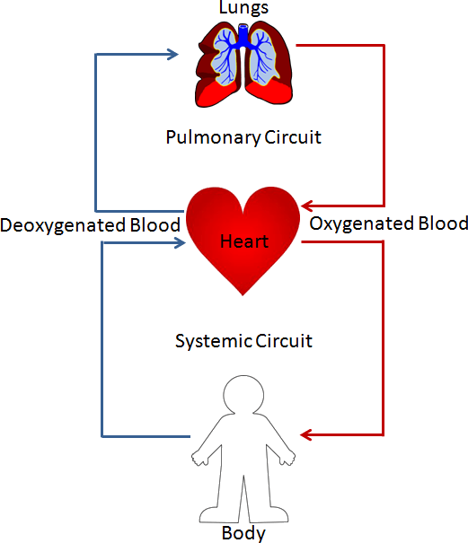 Image blood circulation in human heart