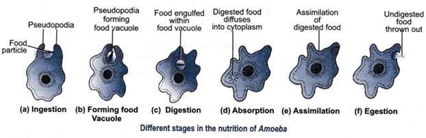 Image the nutrition in Amoeba