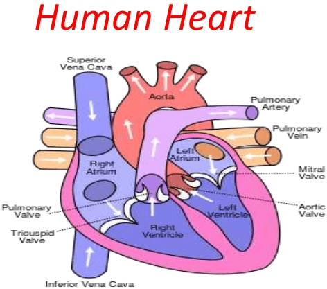 Image Figure shown the human heart