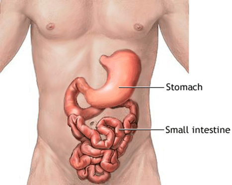 Image Stomachand Small intestine and stomach
