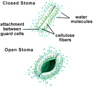 ImageFigure shown the close and open stoma