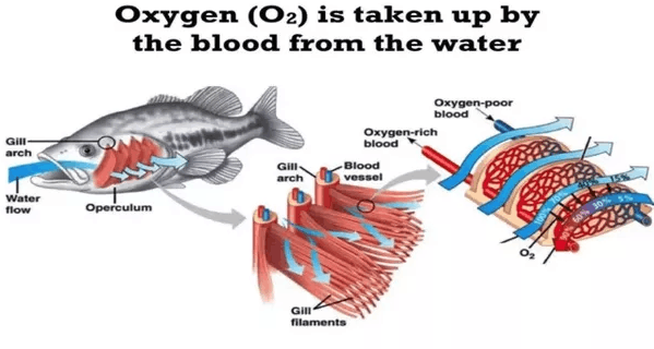 Oxygen taken up by the blood from water