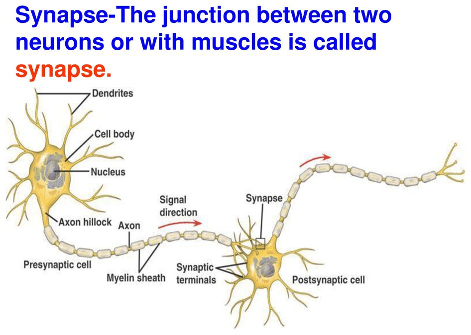 Image Figure shown the synapse