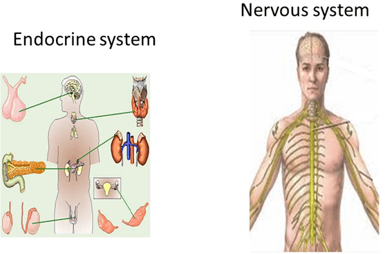 Image the nervous and endocrine systems