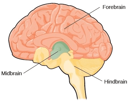 Image Figure shown the brain and its parts