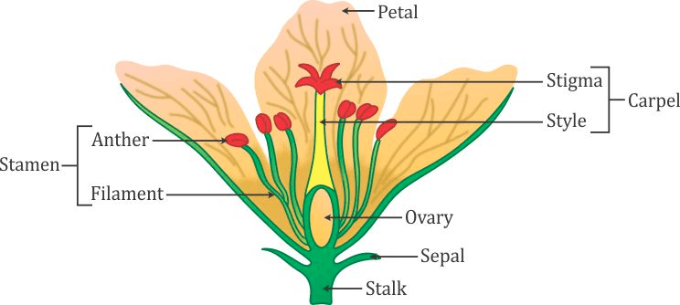 Image diagram of a flower and label the four whorls