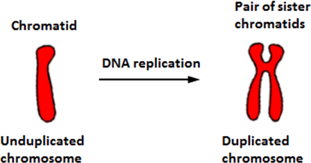 Image Dna replication
