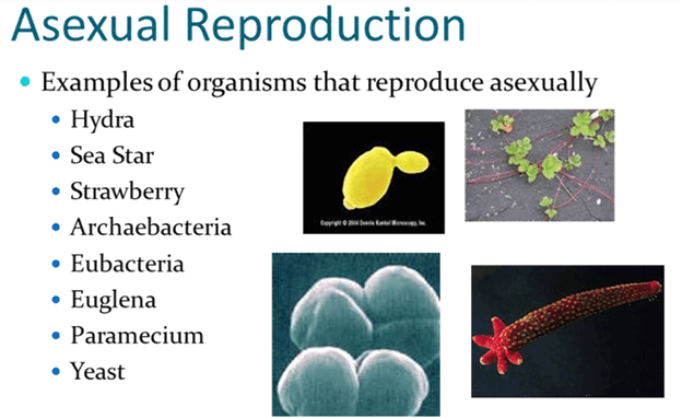 Image the asexual reproduction
