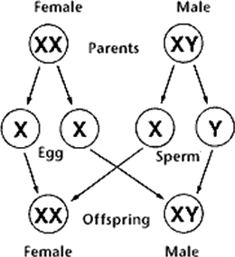 X and Y chromosome in zygote