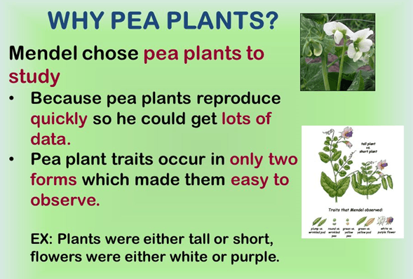 Image why mendals choos pea plant to study
