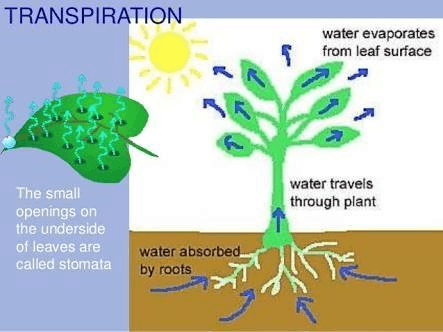 Image of transpiration is a process plants