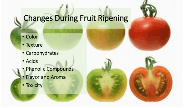 Image of Ripening of fruits