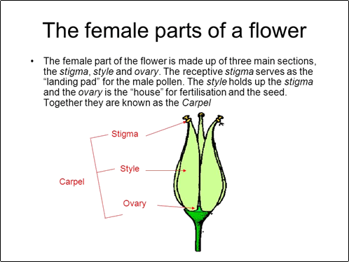 Female part of the flower.