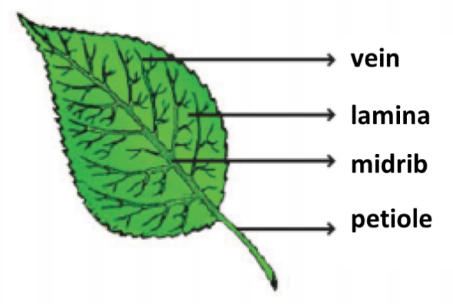 Result for Leaf (A)