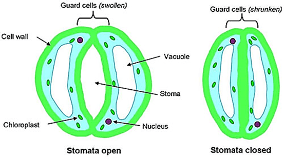 Image result for A. Stomata