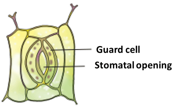 Result for Stomata opening, guard cell (A)