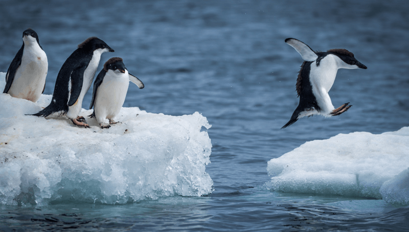 Image of penguins