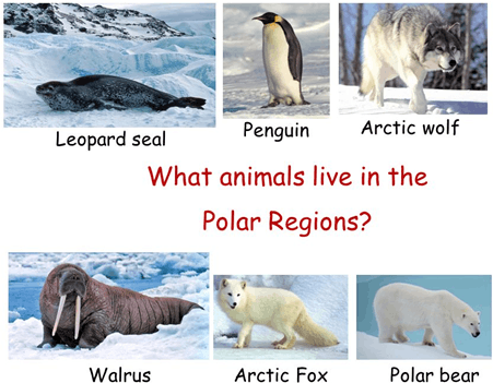 Image of animals which live in the polar region