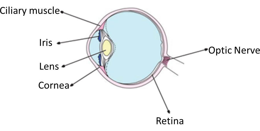 As showing in fig is a parts of the eye (A)