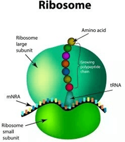 Image of Ribosome