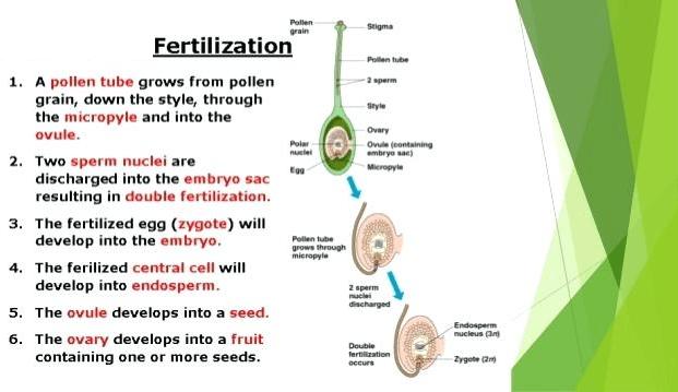 Image of fertilization