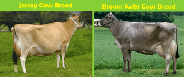 Image the Jersey cow and brown swiss cow breed