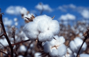 Image Cotton is an example of GM crop
