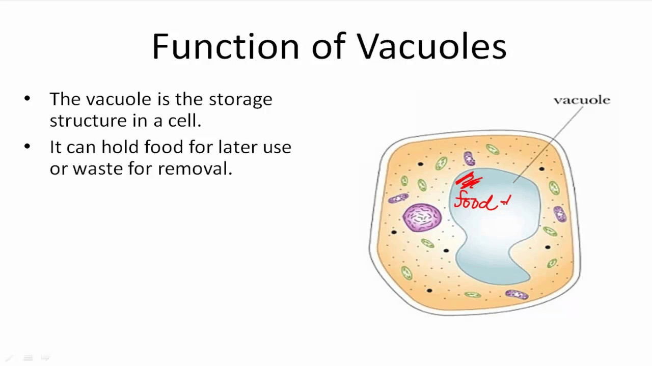 Image of Function of Vacuoles
