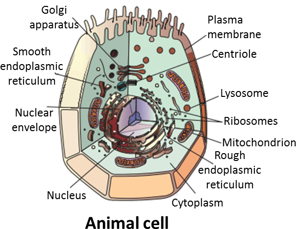Result for Animal cell