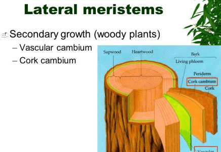 Image of Lateral meristem