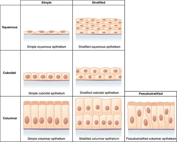 Image Epithelial tissues intercellular spaces