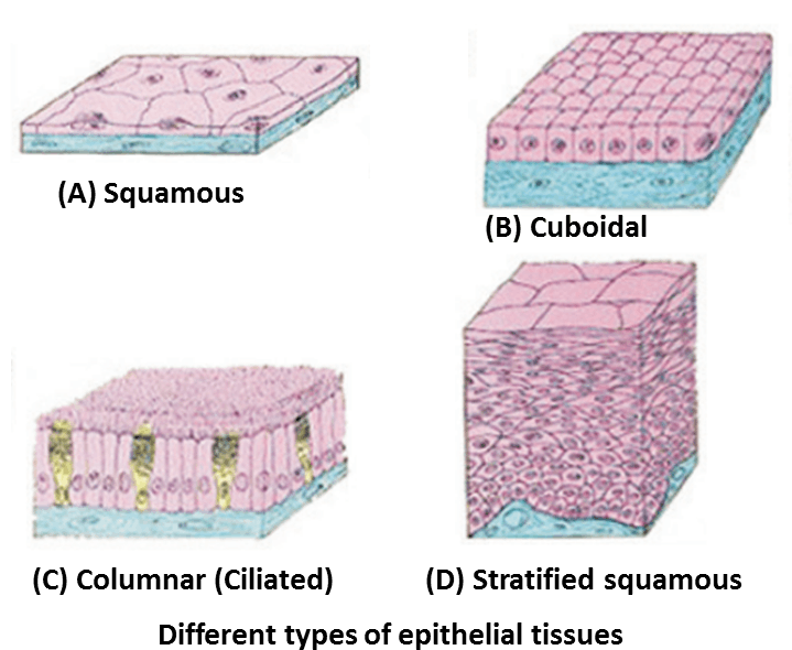 Image different types of epithelial tissues